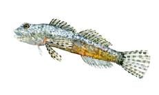 Ferskvands-ulk - Dansk Ferskvandsfisk - akvarel