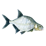 Brasen - dansk ferskvandsfisk