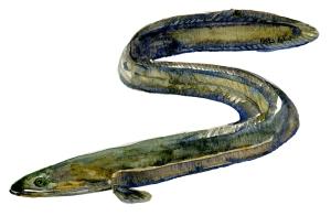 Europæisk ål - danske fisk i ferskvand ( ål yngler i Atlanterhavet)
