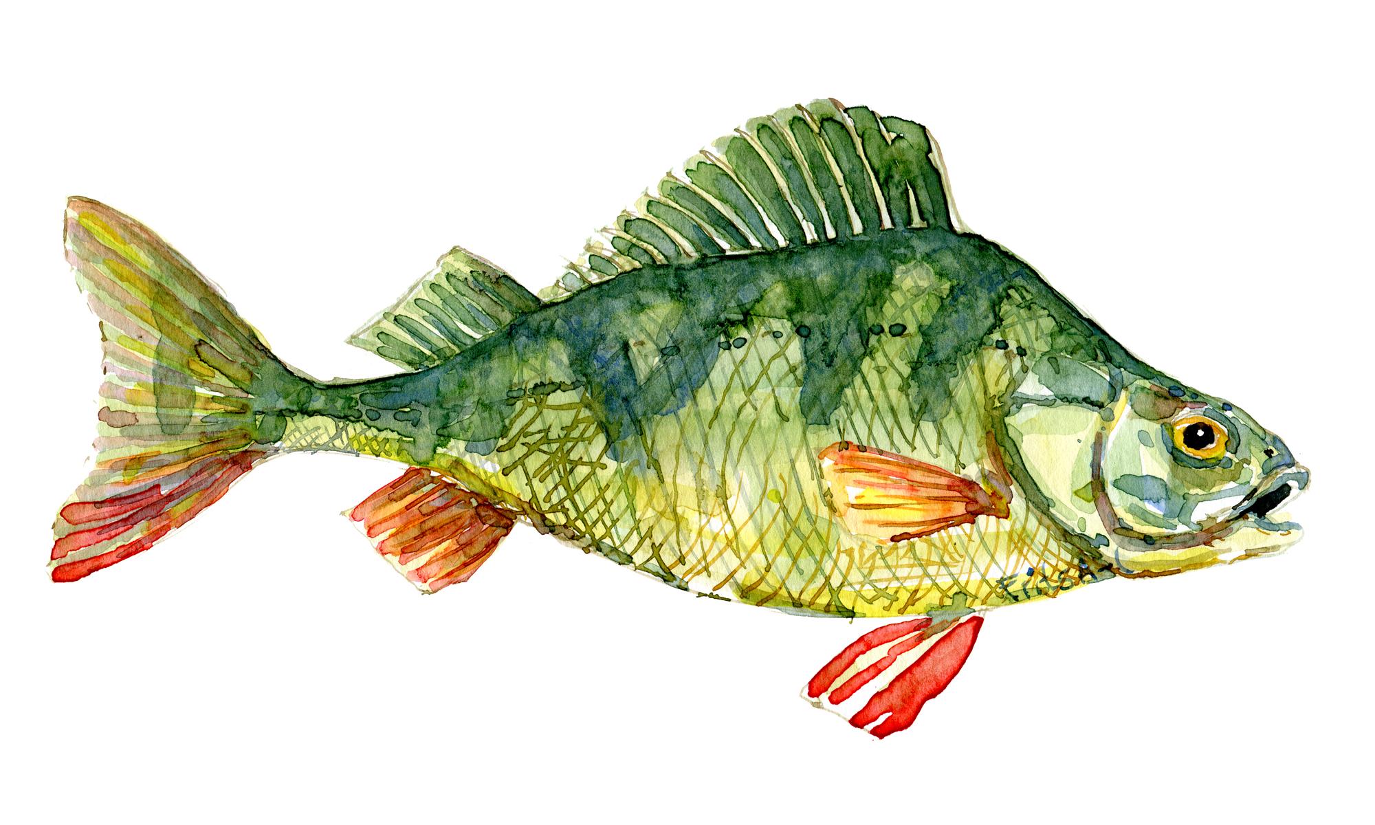 Tegning af Aborre, dansk ferskvandsfisk