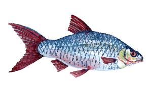 Illustration af Skalle, dansk ferskvandsfisk