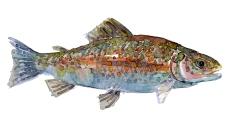 Tegning af ørred - Fisk i dankse vandløb
