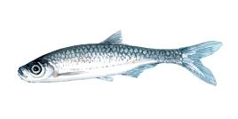 Løje - dansk ferskvands-karpefisk