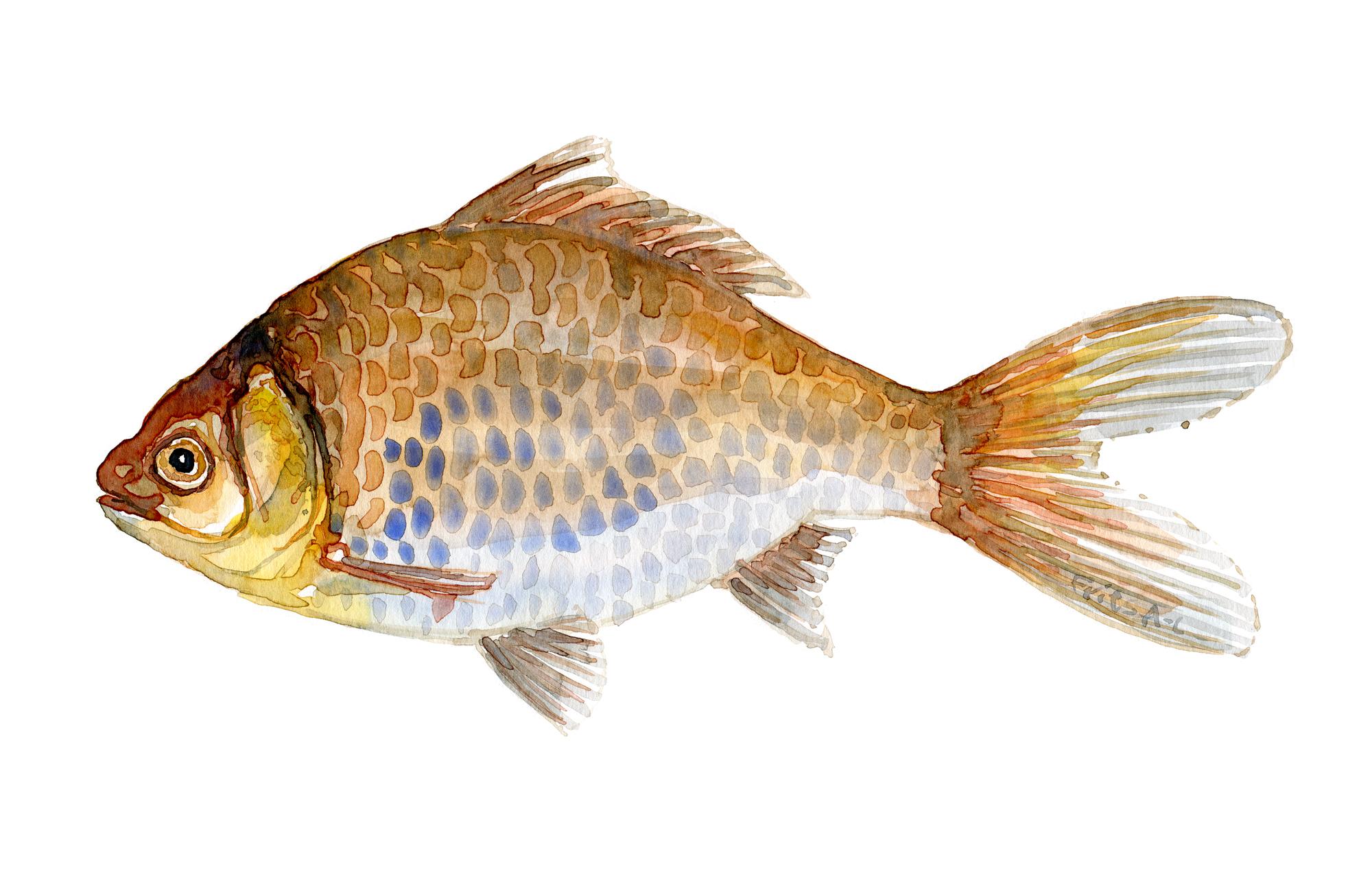 illustration af sølvkarusse - Guldfisk