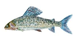 Tegning af Stalling - Dansk Ferskvandsfisk