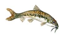 illustration af Grundling karpefisk