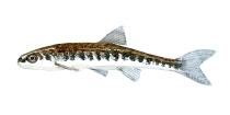 illustration af elritse ferskvandsfisk