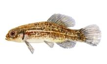 illustration af lille hundefisk