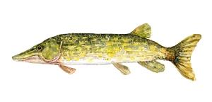 illustration af Gedde fisk