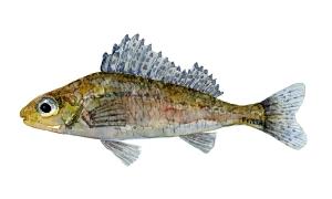 Tegning af Hork, dansk ferskvandsfisk