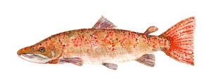 Illustration af laks, Fisk i danske vandløb