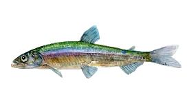 tegning af Smelt ferskvandsfisk