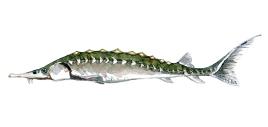 Stør - fisk fanget i vandløb i Danmark