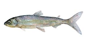 tegning af heltling - dansk ferskvandsfisk
