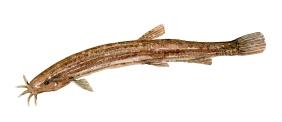 Dyndsmerling illustration ferskvandsfisk i danmark