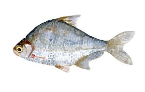Flire - Dansk Ferskvandsfisk