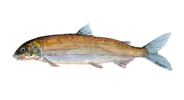 Tegning af helt ferskvandsfisk