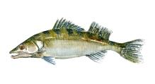 Tegning af Sandart, Dansk ferskvandsfisk