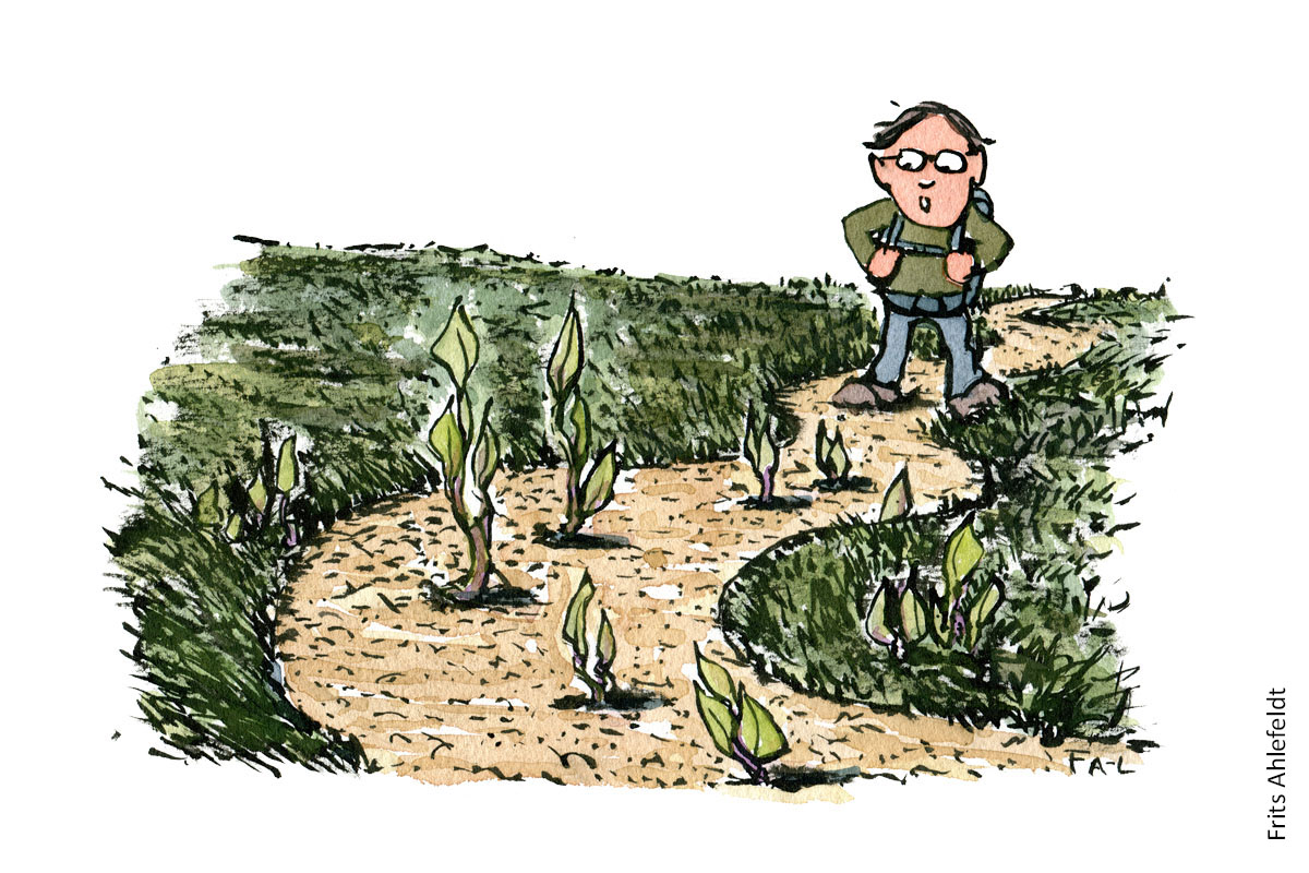 Illustration af en vandrer som ser på en sti der er ved at blive overgroet med store planteskud. vandrestier design og vedligeholdelse. Tegning af Frits Ahlefeldt
